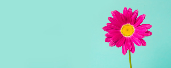 Pink pyrethrum flower on blue background. Pink daisy. Space for text.