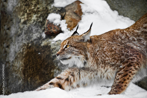 Foto auf Leinwand Luchs Beautiful and strong wildcat trot stretches all over while walking in the snow,