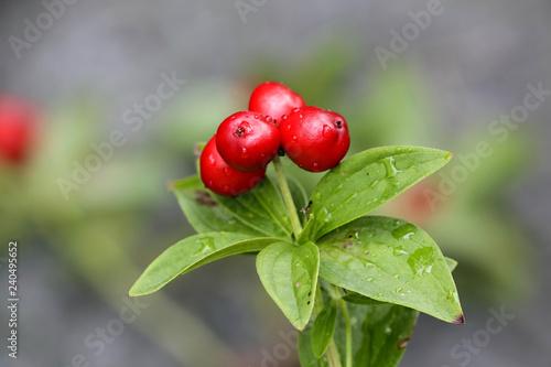Fotografía  Cornus suecica, the dwarf cornel or bunchberry