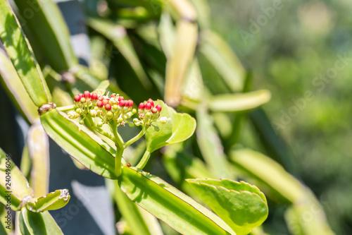 Photo Herbs plants, Cissus quadrangularis.