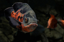 The Oscar (Astronotus Ocellatus) Is A  Fish From The Cichlid Family