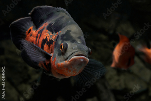 Fotografie, Obraz  The oscar (Astronotus ocellatus) is a  fish from the cichlid family