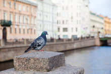 Pigeon On The Street Of St. Petersburg In The Morning.