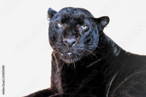 Canvas Prints Panther leopard