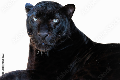 Photo Stands Panther leopard