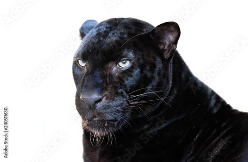 Canvas Prints Panther leopard