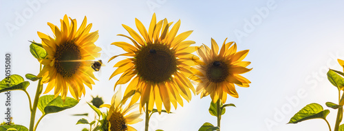 Foto Groupf of sunflowers in sunny backlight with some bees on them and a bumblebee n