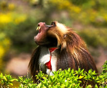 Gelada Baboon Yawning