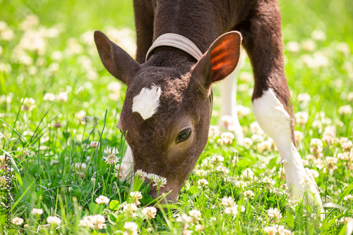 Fotografie, Tablou The calf on a summer pasture