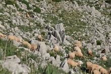 Gregge Di Pecore  Al Pascolo Tra Le Montagne Aspre Della Sicilia
