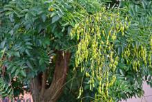 Styphnolobium Japonicum Or Jap...