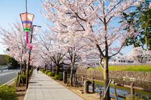 Around Odawara Castle In Cherr...