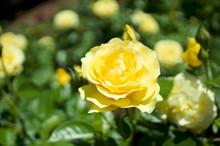 Portland Rose Garden Yellow Rose