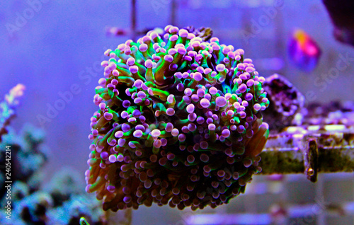 Fototapeta premium Euphyllia LPS koral na białym tle obraz