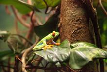 Red-eyed Tree Frog Agalychnis ...