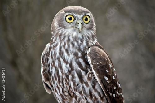 Naklejki Sowa   barking-owl