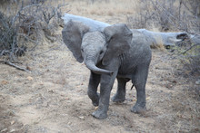 Cute African Bush Elephant Baby In Kruger National Park, South Africa