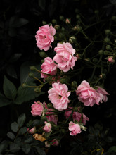The Pink Roses A Beautiful Art