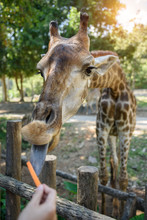Giraffe Eating Food From Touri...