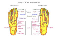 Vector Illustration Of A Human Leg With Denominations Of The Bones Of The Foot. Anatomy Of Dorsal And Plantar Views Of  The Foot. For Advertising Or Medical Publications