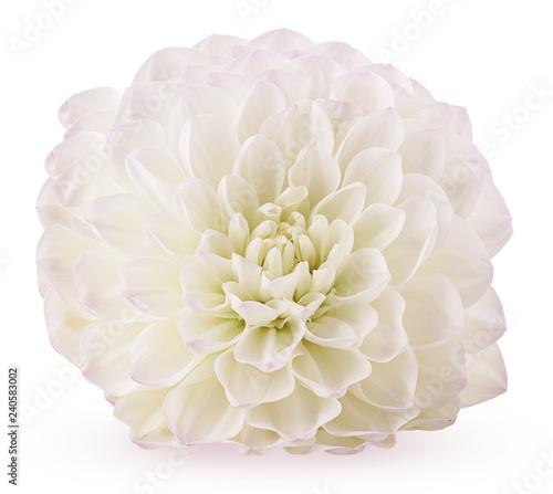 фотографія Autumn flower white chrysanthemum