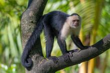 White-headed Capuchin Monkey (...