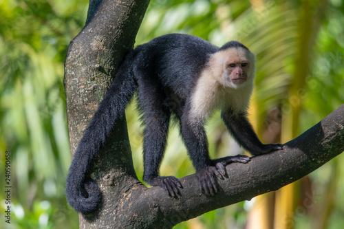 Fotografering  White-headed capuchin monkey (Cebus capucinus) resting in National Park Manuel A