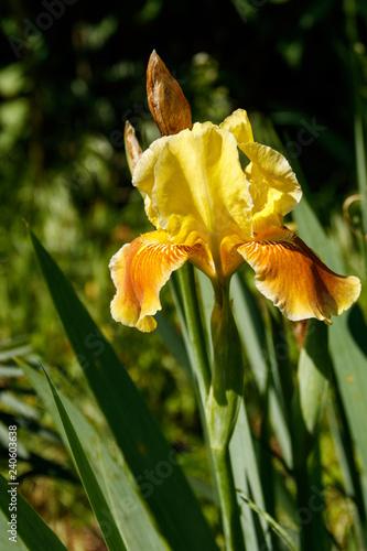 Beautiful iris flower on flowerbed in garden