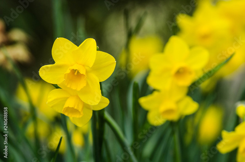 yellow daffodils in the garden