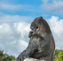 Silverback Gorilla Sitting In Profile, With Blue Sky And Cloud Background