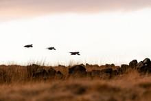 Wild Red-legged Partridge In N...