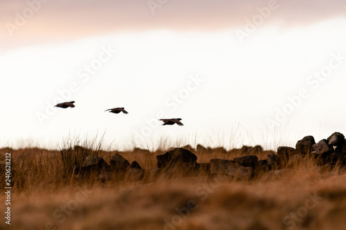 Wild Red-legged Partridge in natural habitat of reeds and grasses on moorland in Wallpaper Mural