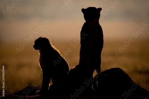 Photo Silhouette of backlit cheetah beside cub sitting