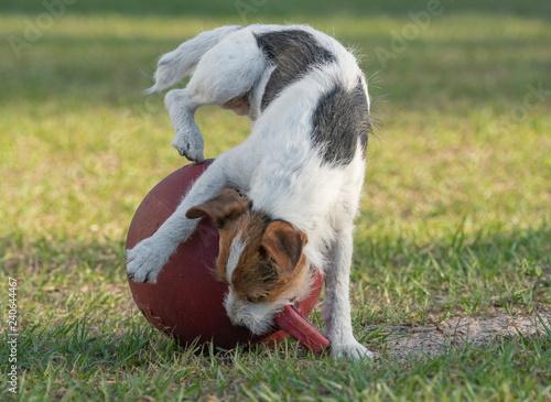 Fotografie, Obraz  Wire hair Jack Russell Terrier dog