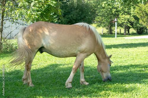 Haflinger horse taking a bite of grass