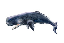 Sperm Whale Realistic Isolated...