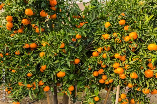 Mogna clementiner på träd