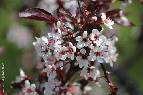 Purple leaf sand cherry or dwarf red-leaf plum (Prunus cistena). Branch with flowers and foliage