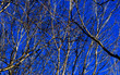 canvas print picture - branches of winter trees against blue sky
