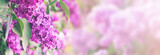 purple lilac bush blossom with copy space
