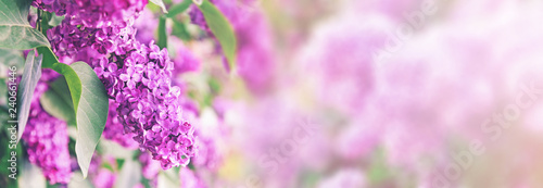 purple lilac bush blossom with copy space