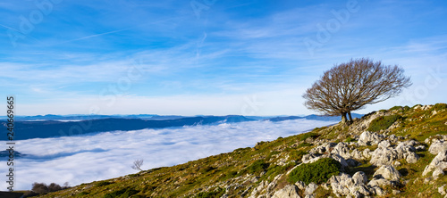 Beech in the Natural Park of Aralar with a sea of clouds in the background, Navarra