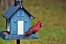 A Single Male Cardinal Bird Is...