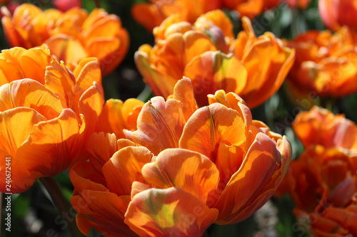 Foto op Canvas Cappuccino Beautifully blooming colorful tulips in a spring garden