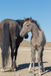 Wild Horse Mare and Her Foal