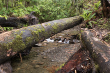 A Log Fallen Across A Small Stream On The Holdsworth Lookout Track Hiking Trail In The Tararua Forest Park, Wairarapa, New Zealand.