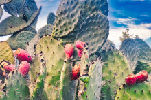 Prickly Pear Cactus With Fruits