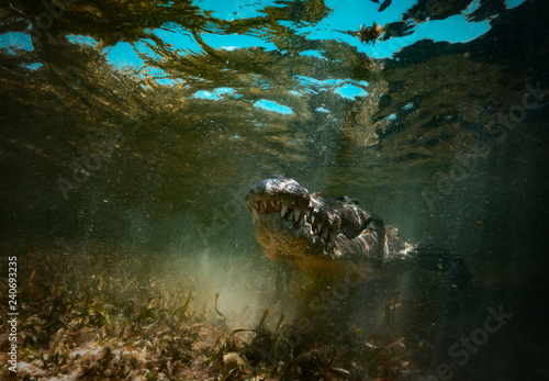 Saltwater crocodile predator hiding in muddy water underwater shot