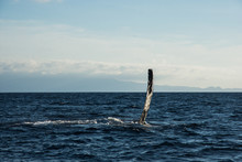 Humpback Whale Cavorting In Bu...
