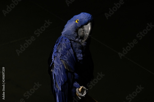 Photo blue macaw parrot